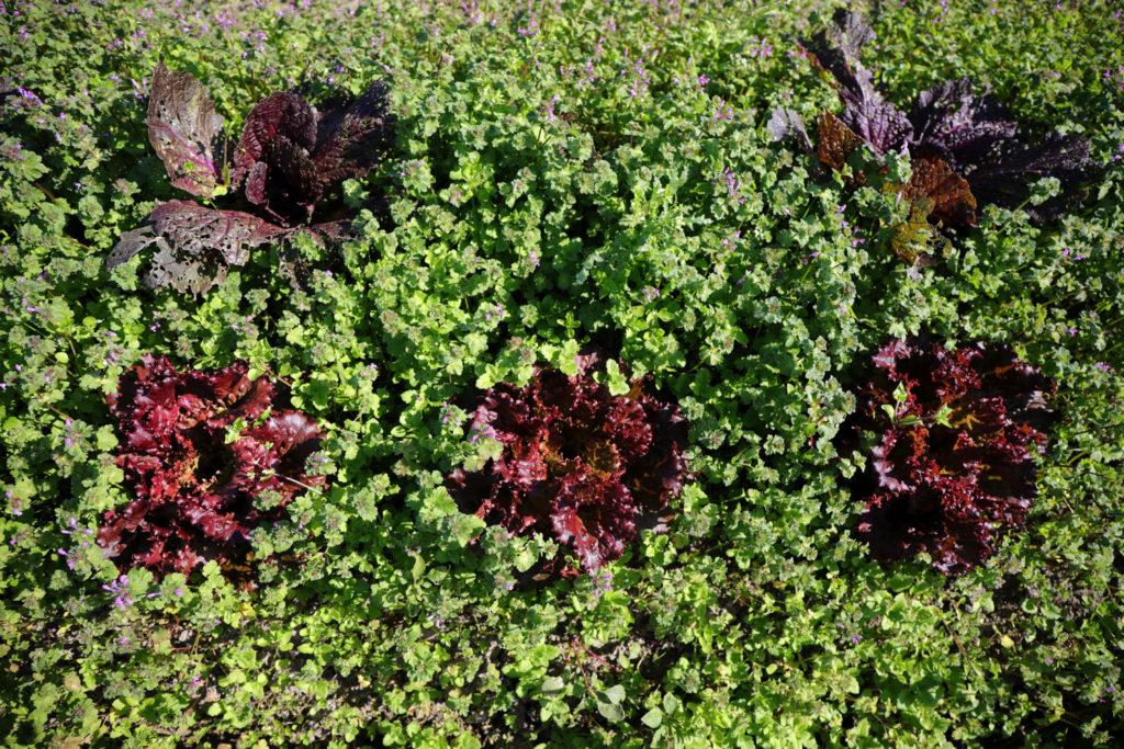 赤いレッドオークリーフ(下)と赤い白菜(上)