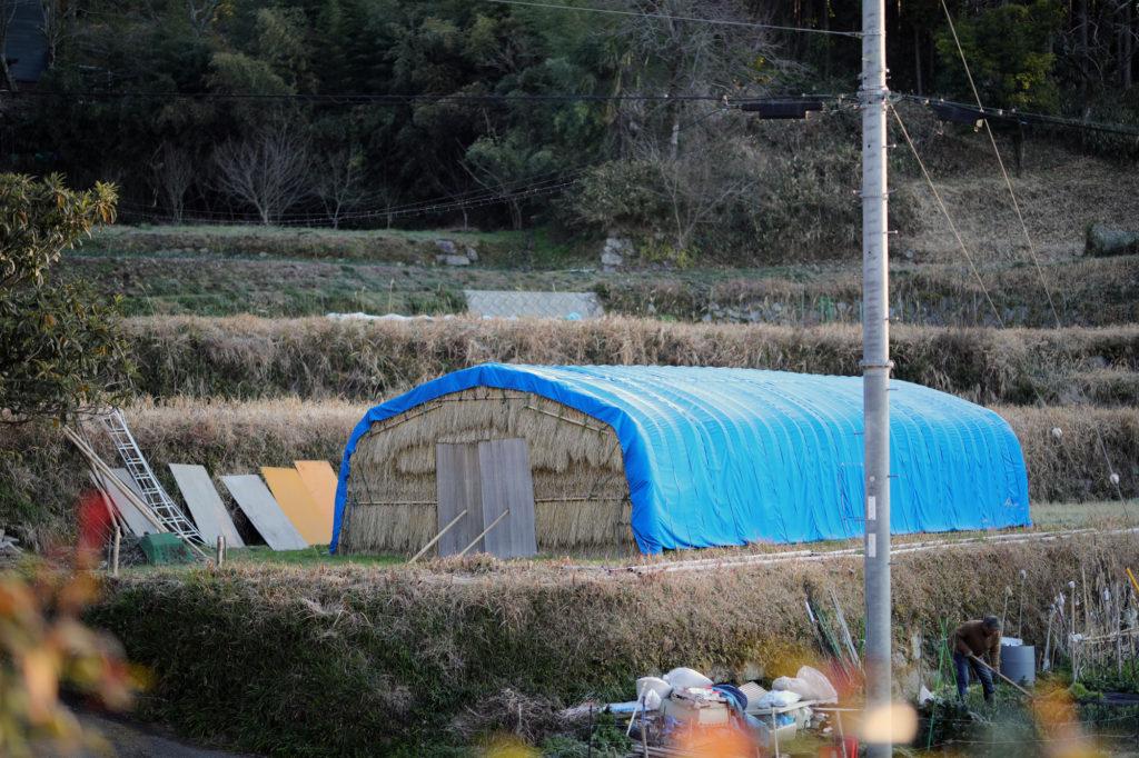 三島独活を栽培するハウス