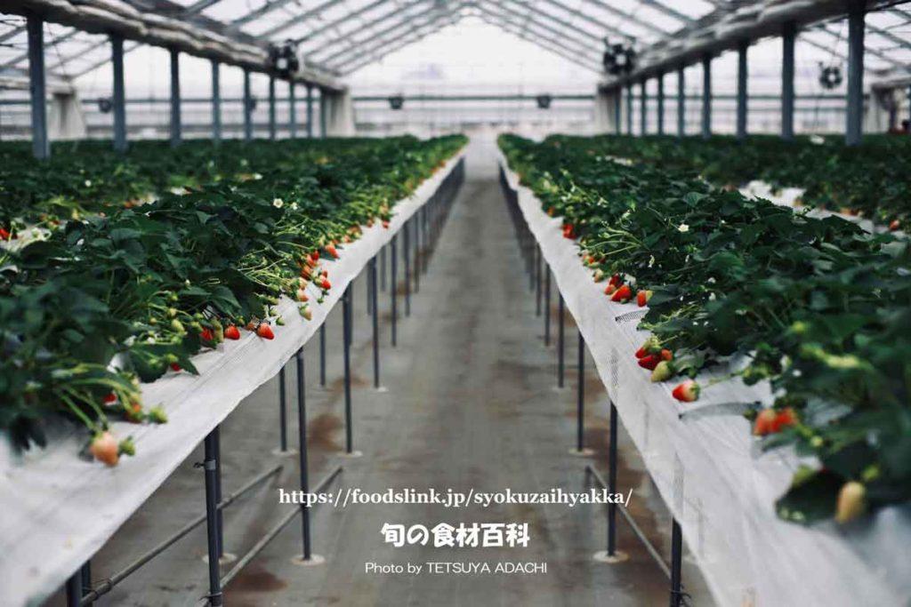 高設栽培のスカイベリー