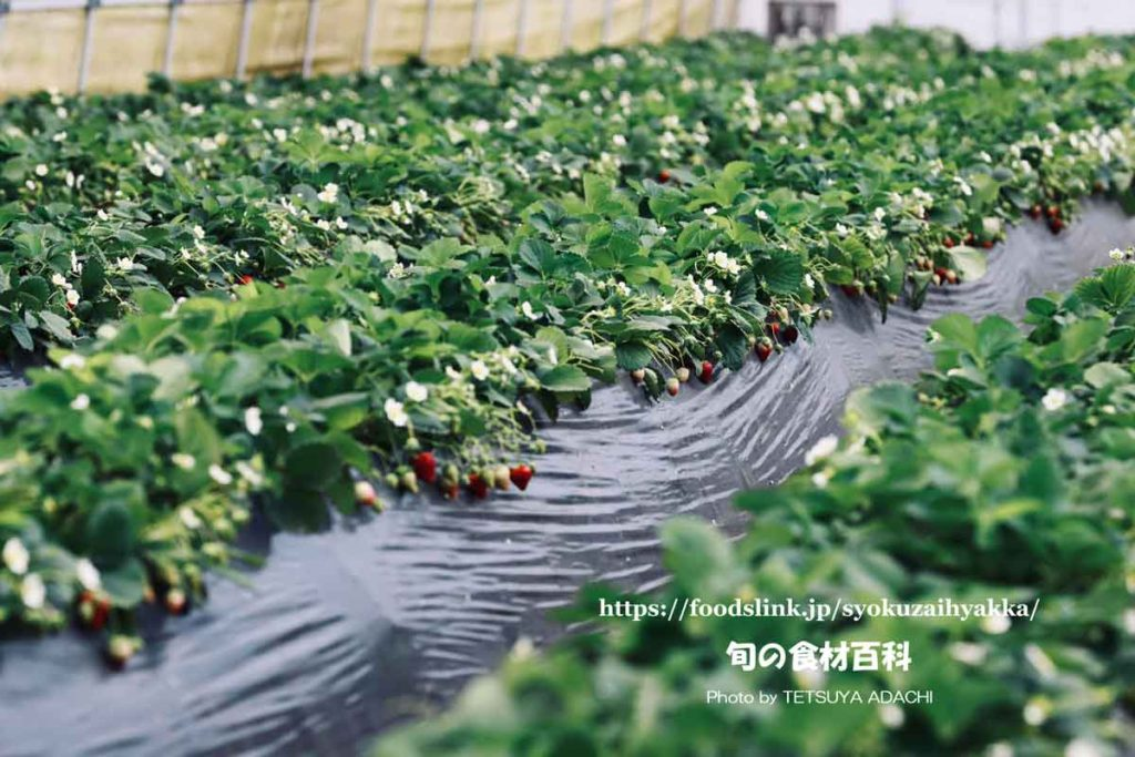 高畝式土耕栽培の真紅の美鈴