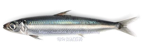 イワシ 鰯 いわし 旬の魚介百科
