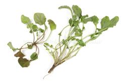 種類 七草粥 『七草粥』種類と効能※春の七草は疲れた胃と栄養補給におすすめ